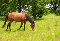 Shiny light bay Arabian horse grazing Stock Photo
