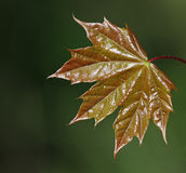 Shiny Maple Leaf Royalty Free Stock Photography