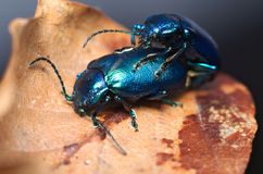 Shiny metallic blue beetle (Oulema obscura) Stock Image