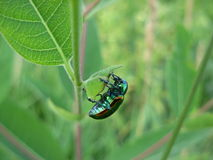 Shiny metallic irridescent dogbane beetle. A shiny metallic irridescent dogbane beetle near some milkweed Royalty Free Stock Image
