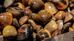 Shiny Mollusk Royalty Free Stock Photo