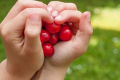 Shiny red cherries in childrens hands. Bright red freshly picked early sweet cherries in may. A sweet and healthy seasonal snack, local and organic fruit from an Royalty Free Stock Photos
