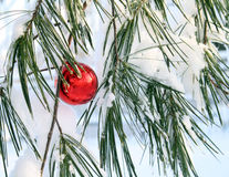 Shiny red xmas ball in a pine tree. Shiny red Xmas ball ornament on a snowy pine branch Royalty Free Stock Photography