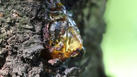 Shiny and reflecting cherry resin on the cherry tree bark.  stock footage
