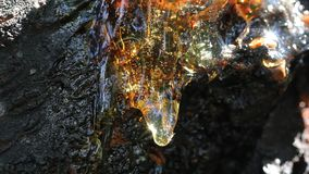 Shiny and reflecting cherry resin on the cherry tree bark.  stock video footage