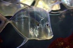 Shiny silvery fish stock image