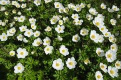 Shiny Snowdrop Anemones Royalty Free Stock Image