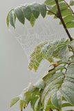 Shiny spiderweb in rain drops on the branch of rowan. Autumn. Stock Images