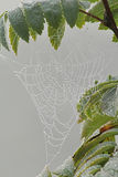 Shiny spiderweb in rain drops on the branch of rowan. Autumn. Royalty Free Stock Photography
