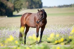 Shiny Stallion in colorful field of flowers. Warmblood Horse stand in yellow and purple flower field free