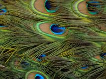 Peacock feathers matress royalty free stock photo