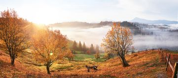 Shiny tree on a hill slope with sunny beams at mountain valley covered with fog. Gorgeous morning scene. Red and yellow royalty free stock photo
