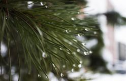 Waterdrops on pine tree royalty free stock photo