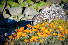 Shiny yellow orange flowers growing wild outdoors with rocks in background stock images