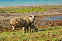 Ship and lamb pasturing Stock Images