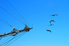 Ship's Bow and Pelicans. Bow of clipper ship with flock of pelicans flying in a row Stock Images