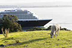 Ship and sheep. White sheep nibbling the green grass on the background of the ship floats in the bay Stock Photos