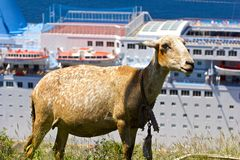 Sheep in St Vincent. With the cruise ship on the backgournd Royalty Free Stock Photography