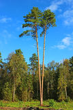 Shipboard pine. Two shipboard pine at a sunny day Royalty Free Stock Photo