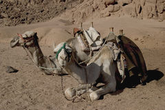 Ships of the Desert. Bedouin camels at rest in the Sinai desert Royalty Free Stock Photo
