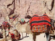Ships of Desert, Jordan. Camel is called the `Ship of Desert` because it is the only mean of transportation found in deserts which helps human being go from one royalty free stock photo