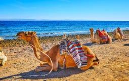 The ships of the desert, Sinai, Egypt. The camels, known as the ships of the desert, take a rest on shore of Aqaba gulf before the tourist safari, Sinai, Egypt stock image