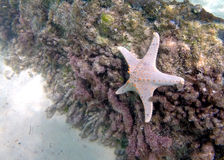 Shipwreck starfish. Starfish on a shipwreck at Bulwer, Moreton Island, diver's eye view Stock Images