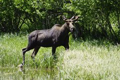 Shira Moose, Montana royalty free stock photos