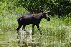 Shira Moose, Montana stock photography