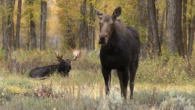 Shiras Bull and Cow Moose During Fall rut stock video footage