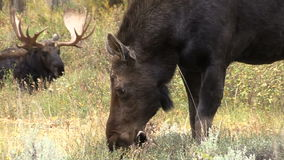 Shiras Bull and Cow Moose stock footage