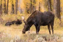Shiras Bull and Cow Moose in Rut Stock Photos