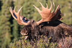 Shiras Bull Moose. In the Indian Peaks Wilderness of Colorado Royalty Free Stock Photography
