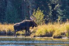Shiras Bull Moose Stock Photos