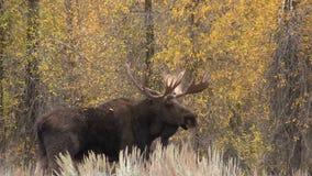 Shiras Bull Moose in Fall stock footage