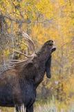 Shiras Bull Moose in Rut Royalty Free Stock Images