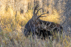 Shiras Moose Bull Stock Photos