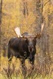 Shiras Moose Bull Head On Stock Photo