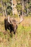Shiras Moose Bull Walking Head On Royalty Free Stock Photo