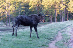 Shiras Moose of The Colorado Rocky Mountains Royalty Free Stock Images