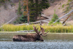 The Shiras Moose of Colorado Royalty Free Stock Images