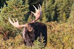 The Shiras Moose of Colorado Stock Images