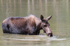 The Shiras Moose of Colorado Royalty Free Stock Image