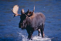Shiras Moose. The Shiras moose is found in southwestern British Columbia, Canada, commencing at the International Boundary at Sumas Highway 11 to Trans-Canada stock photography