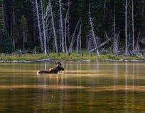 Shiras Moose in a Mountain lake. Shiras bull moose browsing in a high mountain lake in Colorado stock photo