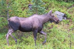 Shiras Moose in the Rocky Mountains of Colorado. Colorado Rocky Mountains - Shiras Moose in the Wild stock photography