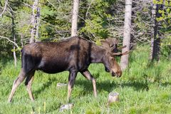 Shiras Moose in the Rocky Mountains of Colorado. Colorado Rocky Mountains - Shiras Moose in the Wild stock photo