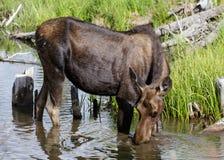 Shirasamerikaanse elanden van Colorado Rocky Mountains Royalty-vrije Stock Afbeelding