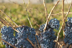 Shiraz Grapes. Left to hang on the vines Royalty Free Stock Photos