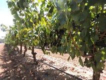 Shiraz Red-wijndruiven op de wijnstok Stock Foto